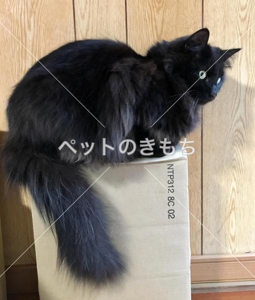迷子猫】 千葉県で猫(猫種:雑種 黒猫長毛)を探しています