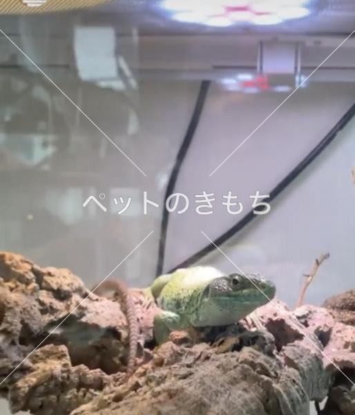 迷子ホウセキカナヘビの写真