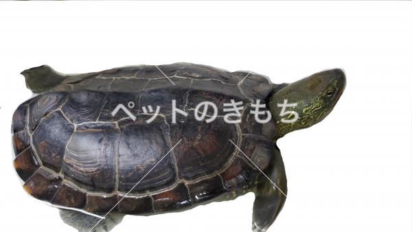 迷子クサガメの写真
