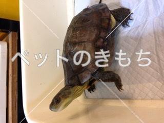 迷子ミナミイシガメの写真