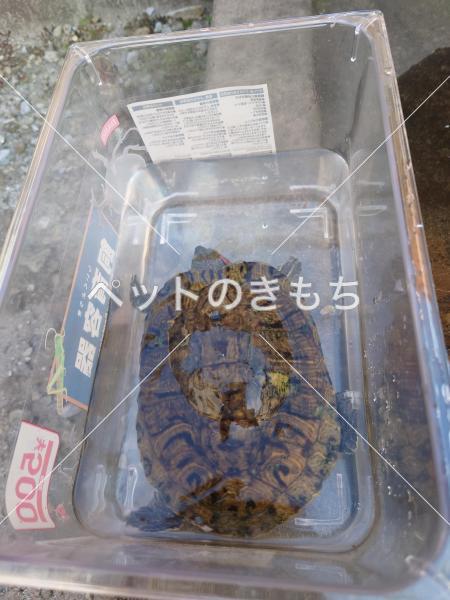 保護ミシシッピアカミミガメの写真