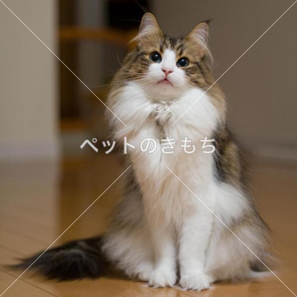 迷子猫】 東京都で猫(猫種:ノルウェージャン・フォレスト