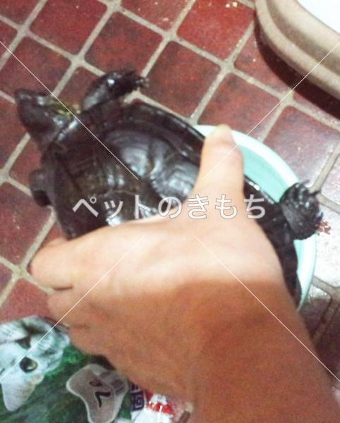保護クサガメの写真